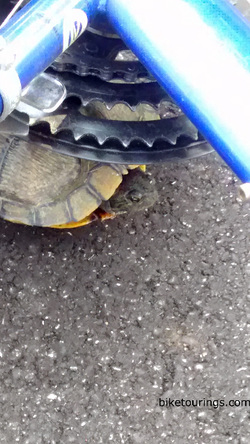 Picture of turtle under bike commuter