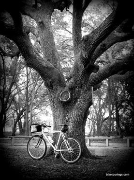 Picture of commuter bike and old oak tree