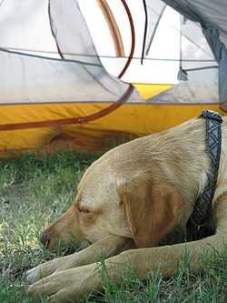 Picture of torn tent while bike camping with dog
